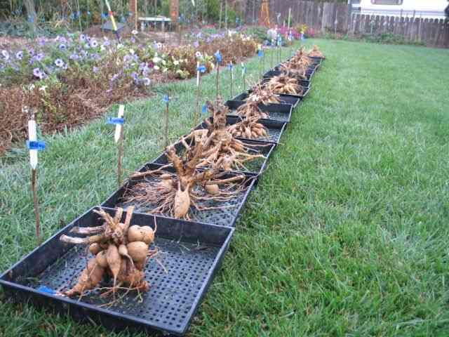 Dahlia roots from cuttings after the first season.